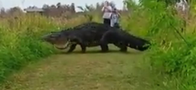 LOOK: Enormous reptile proves there are bigger gators than Patric Young